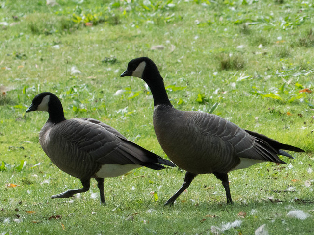 Cackling Geese