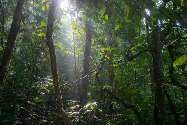 Thick jungle. Danum Valley