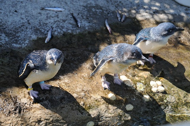 Feeding Penguins at Taronga Zoo, Sydney
