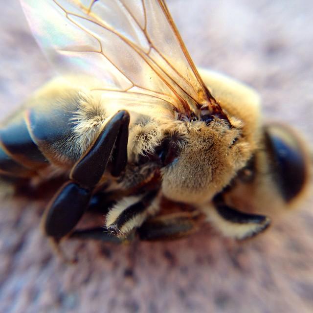Macro Bee - 4