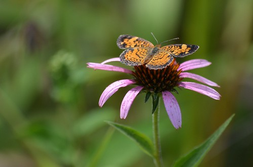 Echinacea Visitor by mostendorf1