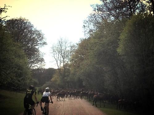 Herd of Deer, Windsor Great Park near Sunningdale, Ascot, West Berkshire