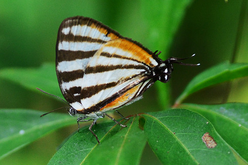 Panama: Arawacus togarna, Togarna Hairstreak