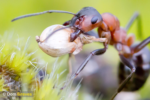Wood ant with heather seed