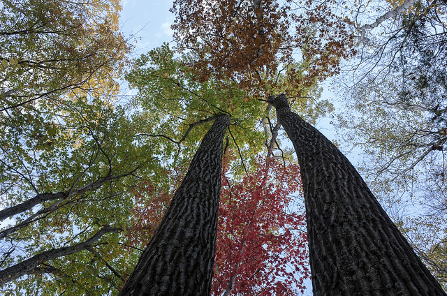 Two oaks on Schaghticoke Ridge