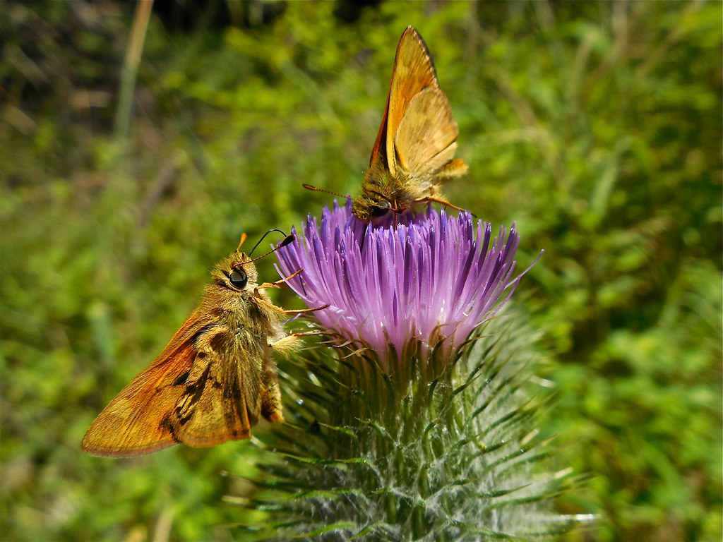 Butterflies and thistle
