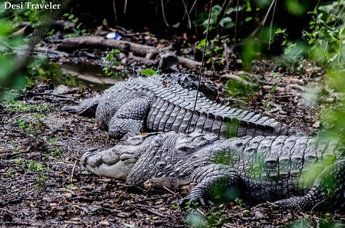 Crocodiles taking sun bath Hyderabad Zoo