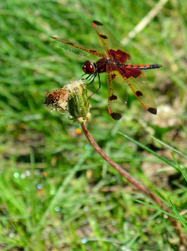 Red Dragonfly by damn_que_mala