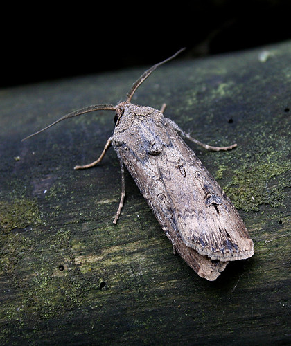 Dark Sword-grass Agrotis ipsilon Tophill Low NR, East Yorkshire October 2013