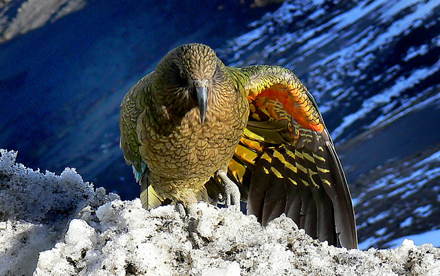 Kea wing colours.