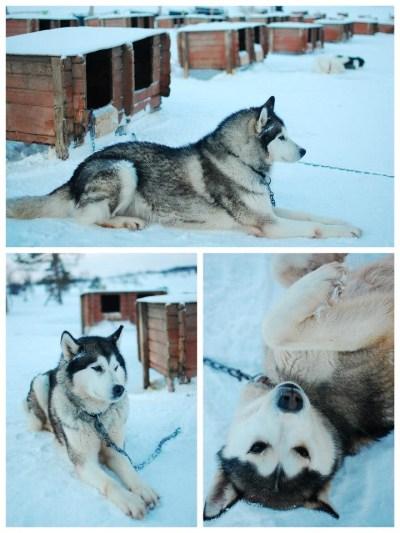 Tromso husky 2