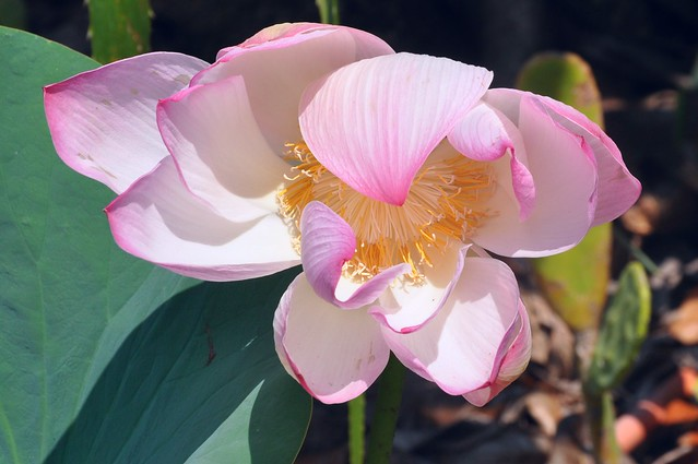 Lovely Lotus