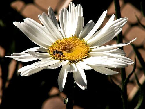 daisy opens today by dagutzyone 