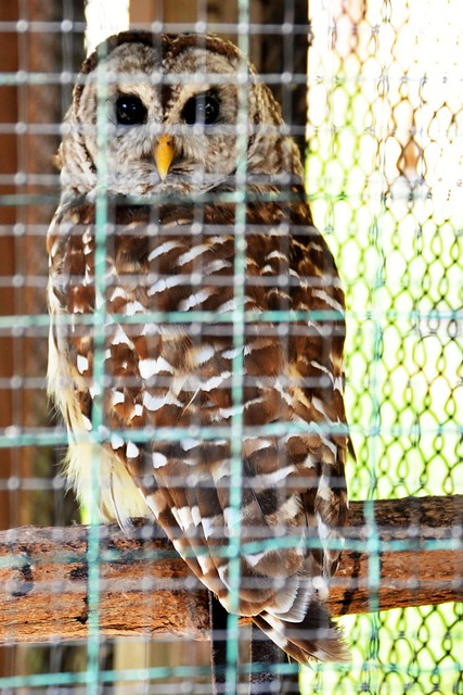 Clyde the Barred Owl