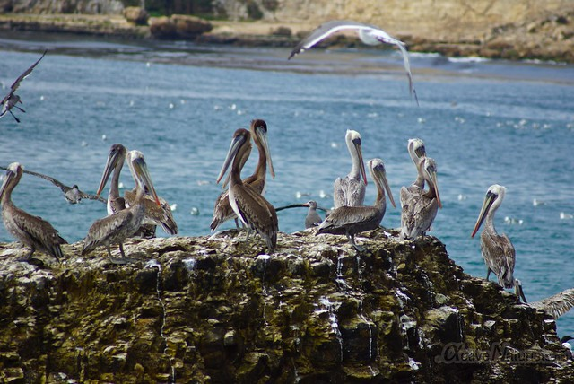 pelicans 0000 4 Mile Beach, CA, USA