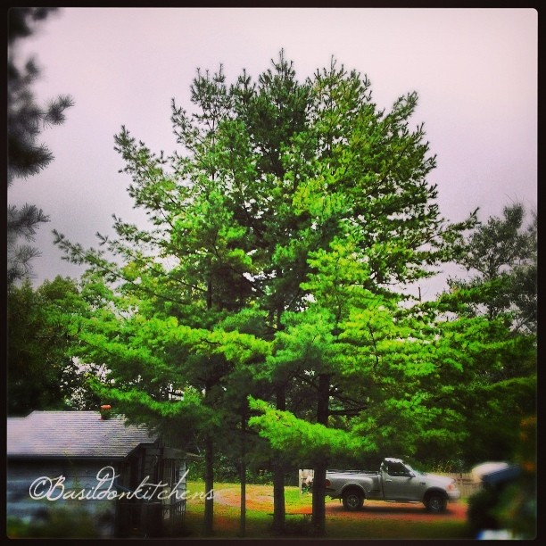 Aug 31 - evergreen {these four (4) pines guard the entrance to hubby's workshop} #photoaday #evergreen #trees #pine