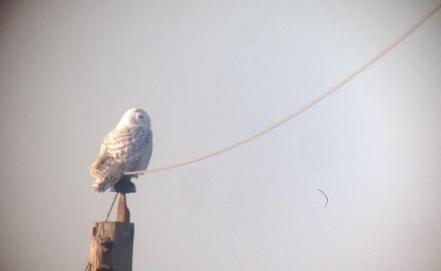 Snowy Owl - Delaware