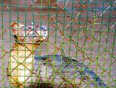 Un Fussa, un gros chat qui mange les lémuriens