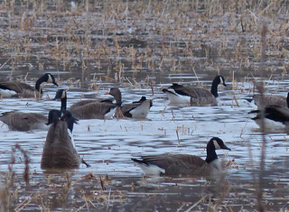 Greater White-fronted Goose - record shot