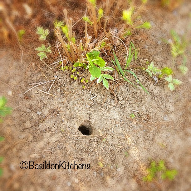 May 7 - holes {one of the many chipmunk holes in my garden} #photoaday #garden #chipmunks #pests