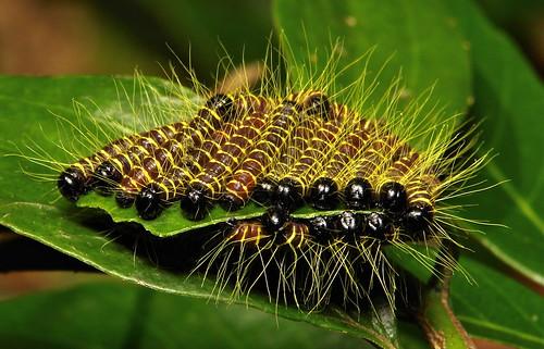 Early Instar Redbase Jezebel Butterfly Caterpillars (Delias pasithoe, Pieridae)