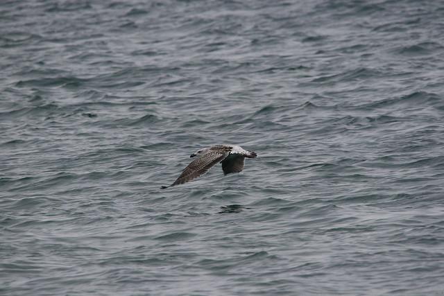 Juvenile Great Black-backed Gull