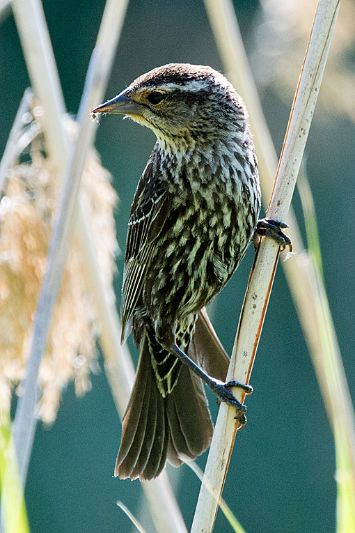 _DSC0975 Red-winged blackbird (f)