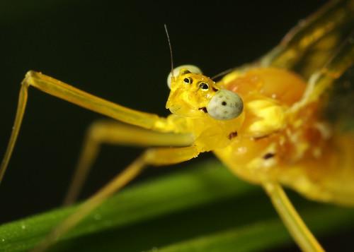Mayfly - Yellow May Dun