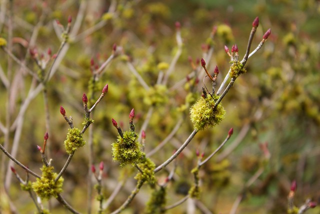 Red Buds and Mossy Ys