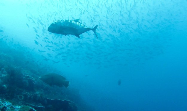 Big trevally, little Napoleon. Batu Bolong, Komodo