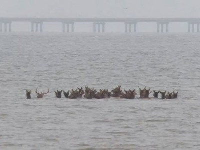 elk crossing the colombia