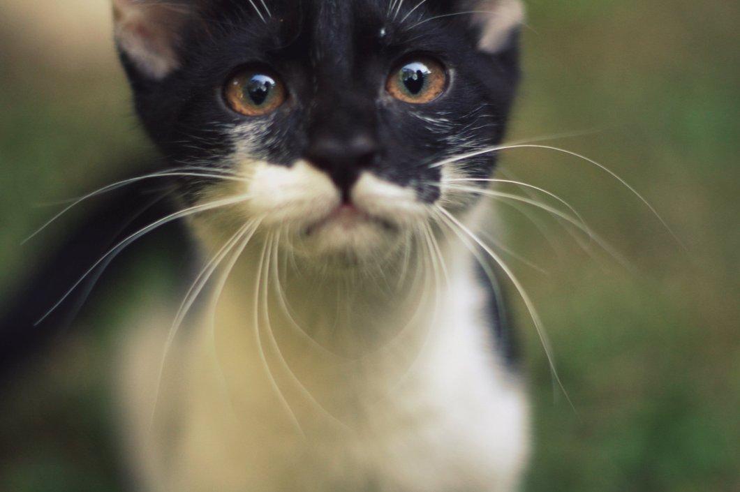 cara de un gatito blanco y negro