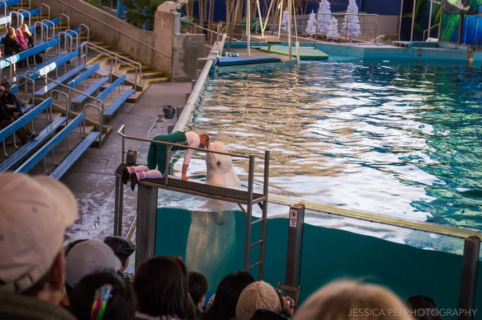 Beluga Whale Christmas Show Sea World