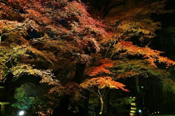 紅葉がライトアップされてますよ!