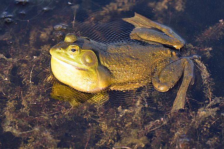 _DSC0738 Bullfrog