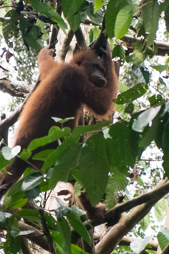 Grumpy orangutan. Sepilok