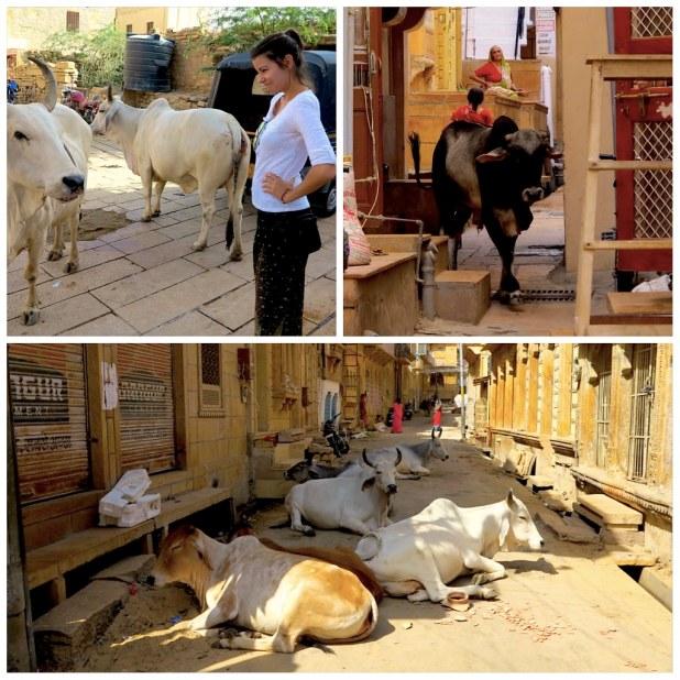 Vacas en Jaisalmer