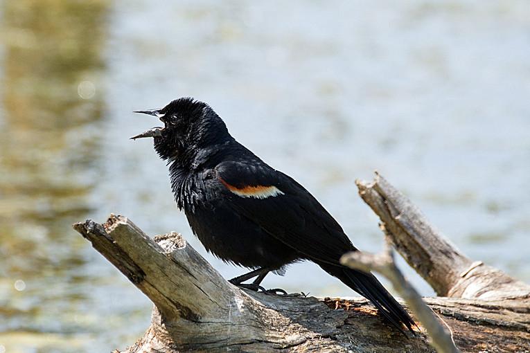 _DSC1012 Red-winged Blackbird