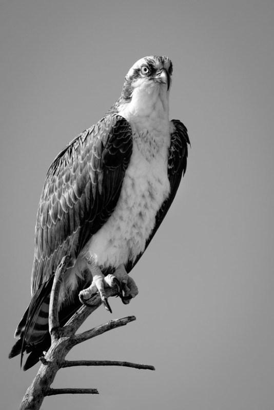 Black and White Osprey