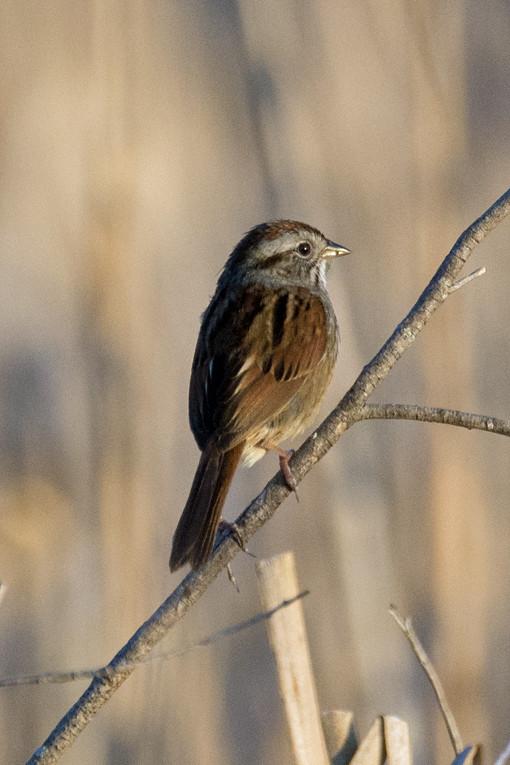 _DSC8081 Swamp Sparrow