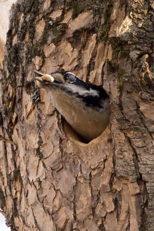 _DSC7863 Hairy Woodpecker