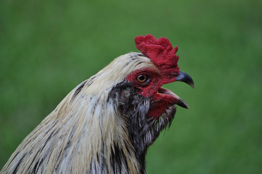 Imagen gratis de un pollo