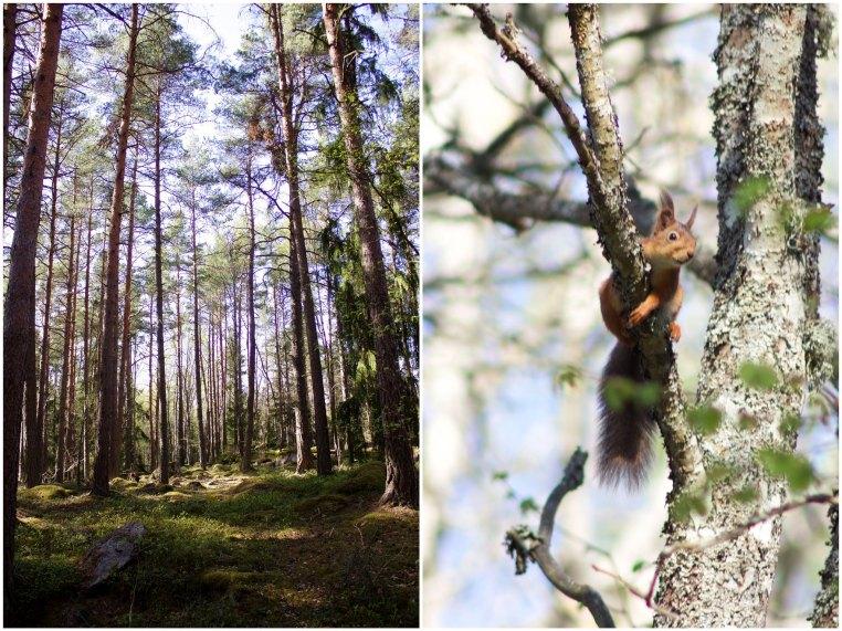 Woods squirrel