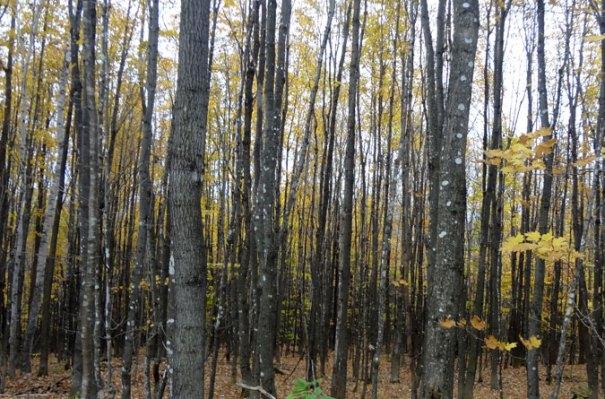 Grafton Loop Woods