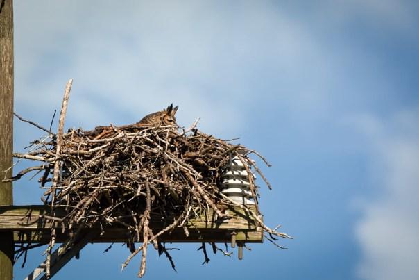 Great Horned Owl on nest