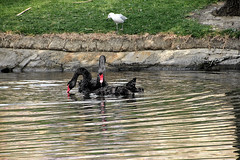 river Torrens black swans