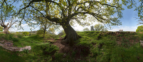 Tree, Malverns (with sheep pretending to be wolves)