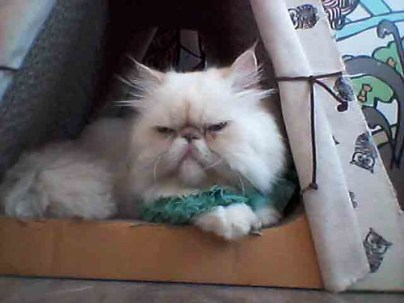 Cute persian at Caturday