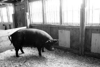 Pigs_7308