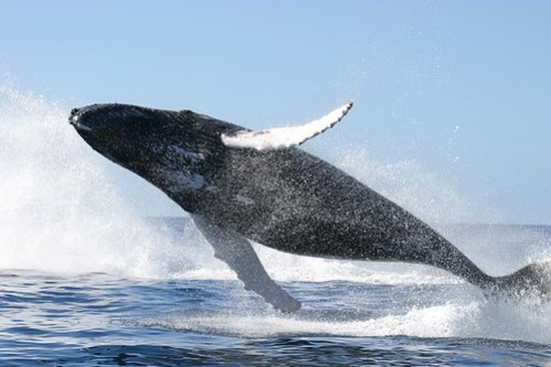 Humpback_whale_jumping